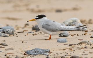 DSC7109 Little Tern..