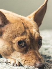 My dog, Belle, trying to look cute (francisXL23) Tags: pet photography bokeh depth field teamcanon canon eos rebel t7i 800d l series lens 100mm macro f28 28 aperture dogs chihuahua rat terrier mix cute puppy closeup photoshoot pretty