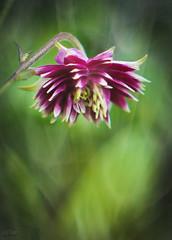 Mini Aquilegia (judy dean) Tags: judydean 2018 garden aquilegia columbine petals texture