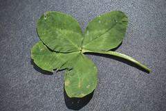 trèfle à quatre (bulbocode909) Tags: valais suisse trèfles trèflesàquatre portebonheur feuilles nature printemps vert