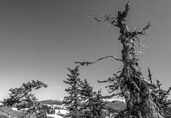 Hurricane Ridge (WA_416) Tags: ifttt 500px black white branches mountain range snowcapped pine top hiking national park