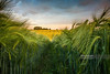Getting Low (Nick Brundle - Photography) Tags: beauty landscape denmark sunset freshness sunny green nikon2470mmf28 nikond750 d750 gettyimages abundance colours flower growth idyllic jutland lush nature outdoors plant scenics silence tranquility vitality