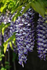 Wisteria (Blue sky and countryside) Tags: wisteria our garden derbyshire pretty perfume england pentax dof primelens