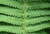 Green (eric zijn fotoos) Tags: allnatural macromondays holland nederland blad macromonday's green noordholland macro plant hmm leaf groen sonyrx10m3 patroon pattern