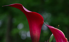 Sinuous (Violet aka vbd) Tags: pentax k1ii vbd hdpentaxda55300mmf4563edplmwrre ct connecticut flower lily newengland callalily maroon 2018 spring2018 handheld bokeh manualexposure