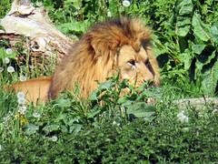 IMG_0032 (duncansmith50) Tags: yorkshirewildlifepark lions polar bears black rhino tigers giraffes doncaster