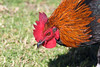 Rooster (iansand) Tags: homebushbay bird birds rooster cock cockerel