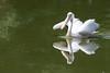 Oasi di Sant'Alessio (Guido Barberis) Tags: oasi di santalessio alessio pellicano uccello bird user comare lombardia vialone stagno riflesso