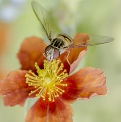 Macro (touflou) Tags: macro insectes fleurs