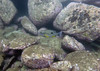 20180531-Shelly Paul-103 (frannyfish) Tags: shelly beach cabbage tree bay manly nsw scuba
