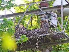 GT Hawk Nest - 0357 (rbs10025) Tags: redtailedhawk buteojamaicensis bird manhattan nyc grantstomb generalgrantnationalmemorial nest young morningsideheights