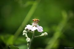 Macron..... (Mauro Bettarel) Tags: macro natura insetti fiori flowers colori colors