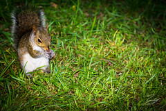 Dinner Time (Randy • R) Tags: autumn color ilce6000 nc northcarolina randall sony summer us usa unitedstates a6000 alpha amazing animal background beautiful brown colorful colors cute day daylight down eating face fluffy fur grass green grey illustration image interesting look mammal natural nature nice nut nuts one orange outdoor outdoors outside photo photographer photography pic picture red rodent squirrel squirrels standing white wild wildlife yellow young winstonsalem