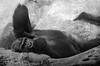 Posing (Scholt's) Tags: singe noir blanc black white monochrome nikon d7000 zoo beauval france loireetcher mannequin pose animal pet monkey