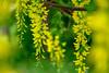 can't hide brightness/輝きを隠さないで (kurupa_m) Tags: flower plant tree macro yellow spring hokkaido sapporo fujifilm xt10 キングサリ 黄色 春 北海道 札幌 百合が原公園