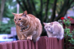 Excitement first thing in the morning (1 of 2) (Kerri Lee Smith) Tags: cats fence spring morning earlymorning brothers buddies ginger buff orange orangecats gingercats orangetabbies gingertabbies buffcats bufftabbies jimmy mack