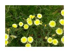 Flores desordenadas (Los colores del Barbanza) Tags: flores amarillas verde dolmen de axeitos ribeira coruña galicia barbanza españa spain messy flowers fleurs en désordre