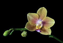 Phal. Tzu Chiang Balm x Phal. Brother Sara Gold (ACEZandEIGHTZ) Tags: phalaenopsis phal nikon d3200 closeup spike bud hybrid black background yellow
