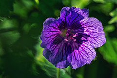 Purple III (anderswetterstam) Tags: flowers nature seasons spring blue purple floral botanical springtime green freshness fragility vulnerability changes