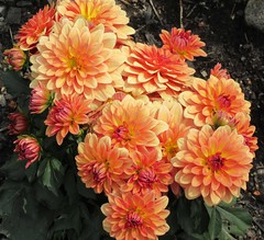 **Bouquet de dahlias** (Impatience_1 (peu...ou moins présente...)) Tags: dahlia fleur flower m impatience naturallywonderful bouquet wonderfulworldofflowers supershot coth coth5 abigfave alittlebeauty sunrays5 fantasticnature fabuleuse