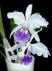 Cattleya warscewiczii coerulea (Matt & Family) Tags: orchid cattleya coerulea warscewiczii