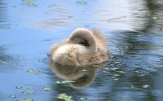 London : Cygnet, Little Venice (Explore) (chriskatsie) Tags: cygne venise londres canal eau water reflection animal bird oiseau