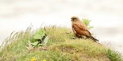 Kestrel on the coast- (Mick Lowe) Tags: coast kestrel durham falco tinnunculus cliff sea