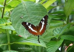 DSC01211 Commander (Moduza procris) (vlupadya) Tags: greatnature butterfly animal fauna lepidoptera commander arthropoda insecta moduza kundapura karnataka
