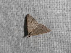 Dichromodes estigmaria (dhobern) Tags: 2018 australia lepidoptera may murramarangnationalpark nsw geometridae oenochrominae dichromodesestigmaria