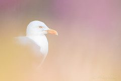 ... The look out ... (Grandpops Woodlice) Tags: herringgull bemptoncliffs bempton yorkshire campion flowers