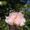 Pink Rose (markshephard800) Tags: rose fiori blumen bloemen fleur fleurs flowers garten jardin jardim tuin giardino pink