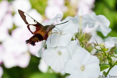 Hummingbird Clearwing Moth Nectaring on my White Phlox - Quinte West, Ontario (Kim Toews Photography) Tags: flora flower blossom bloom plants gardenflowers phlox moth naturephotography naturallight kimtoews ontario outdoor nature insect hummingbirdclearwingmoth
