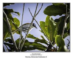 Cuatro Ojos (Rafael Sánchez Cernuda) Tags: cefejufa cigua ciguapalmera enaus madansaga retiro retiroemaus aves