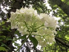 bottoms up Hydrangea (karma (Karen)) Tags: baltimore maryland flowers hydrangea dof bokeh cliche hcs smileonsaturday flowersbottom hsos