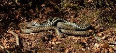 Adder courtship. (farrertracy) Tags: viperaberus addercourtship reptile spring sunshine