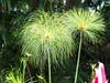 San Diego Botanical Gardens (Jun C Photography) Tags: mk2 corpseflower omd mkii sandiego botany u43 em5 macro olympus sandiegobotanicalgardens carlsbad markii microfourthirds encinitas mft