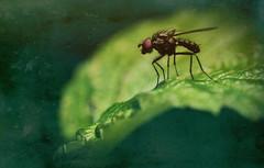 robber-fly (zdm69) Tags: zdm69 olympus omd em1 zuiko 50mm macro makro nature closeup nahaufnahme fliege 7dwf
