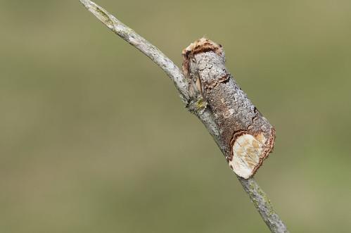Buff Tip (Phalera bucephala).