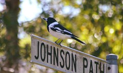 Pied Butcherbird on a Sign (Urban and Nature OZ) Tags: piedbutcherbird butcherbird bird birds australianbirds