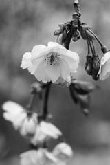 Cherry blossoms (mellting) Tags: eskilstuna eskilstunastadspark nikond500 platser bloggad flickr instagram matsellting mellting nikkor5018 nikon sverige sweden körsbärsblommor cherryblossoms sakura monochrome tree flower bnw blackandwhite