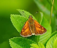 P1610227- Rostfarbiger Dickkopffalter (Bine&Minka2007) Tags: weibchen rostfarbigerdickkopffalter schmetterlinge butterfly nature natur wald feld forest