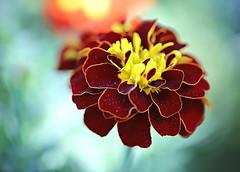 Marigold Perfection (Through Serena's Lens) Tags: macro canoneos6dmarkii marigold flower bokeh dof plant nature outdoor 7dwf flora
