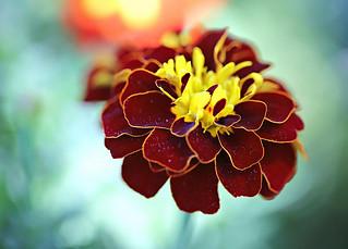 Marigold Perfection