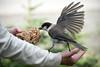 A feast for a Jay! (411 Operator) Tags: greyjay grey arm woman manning britishcolumbia canada wing
