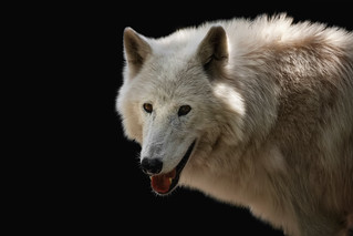 Wolf smile