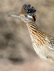 Greater Roadrunner (Ed Sivon) Tags: america canon nature lasvegas wildlife wild western southwest desert clarkcounty flickr vegas bird henderson nevada