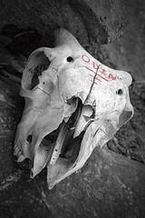 Odin Was 'Ere (hotpotato70) Tags: skull sheep dead bones lingyhut caldbeck fells hills monochrome blackwhite uk unitedkingdom england canon7d desaturated cumbria colorefexpro4 lightroom photoshop old animal livestock farming