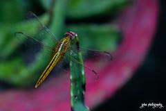 La Libellule (smzoha) Tags: dragonfly insect closeup macro green golden wings translucent transparent pot cermic red colorful vibrant 7dwf fauna
