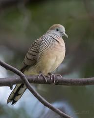 Peaceful Dove (Chris.Kookaburra) Tags: birds geopeliastriata birdwatching peaceful dove peacefuldove ornithology avian