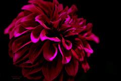 Dahlia's velvet touch (mariola aga) Tags: chicagobotanicgarden flower dahlia closeup hue lensbaby velvet85f18 manual redblack art coth alittlebeauty coth5